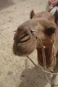 Rajasthan – i lære som Kamel-jockey
