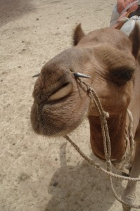Kamelhoved