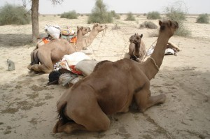 Kamel-dyrene holder pause
